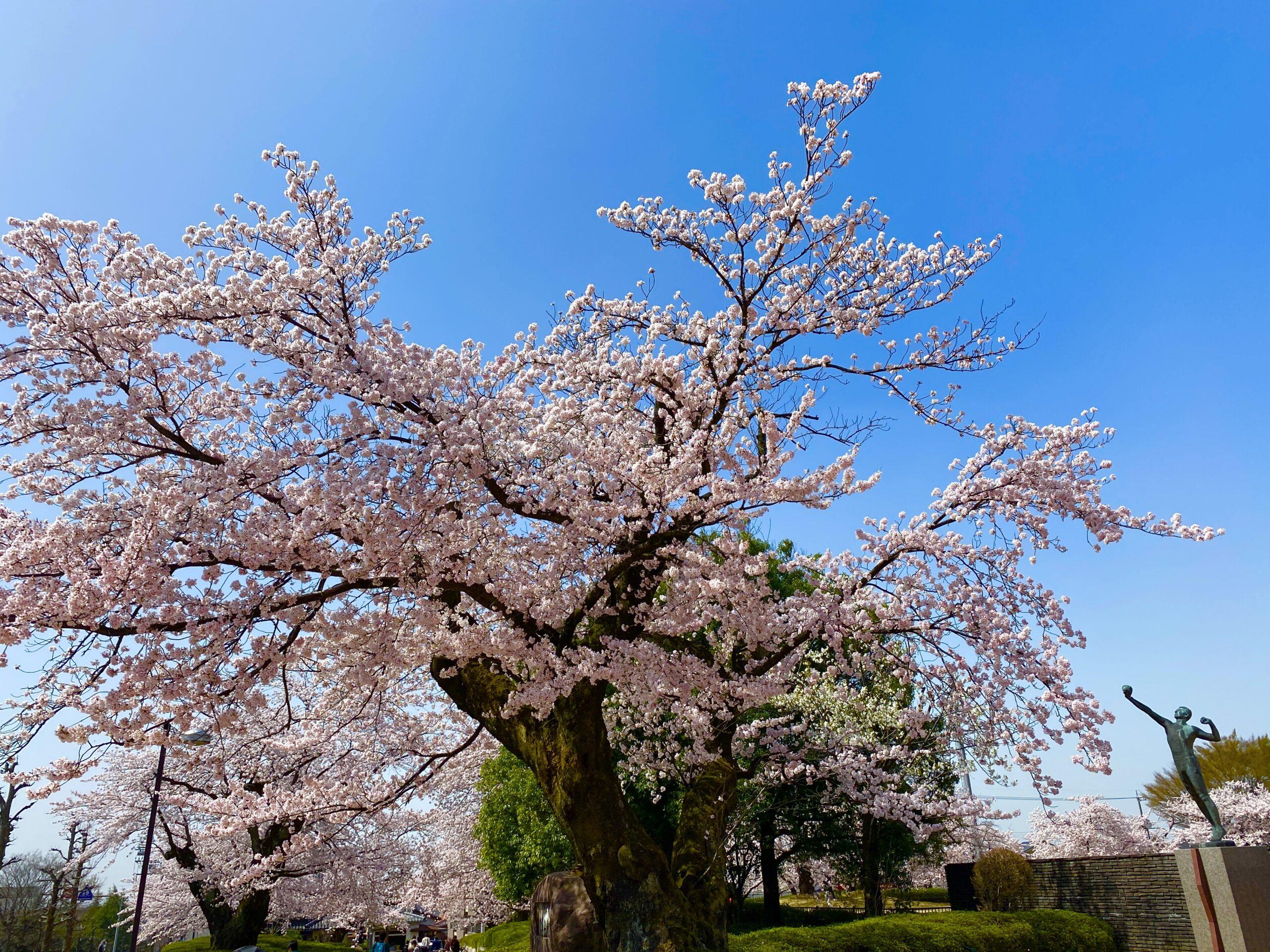 <No.110>桜のように大きくこどもを育てよう〜ガーデナーさん募集中